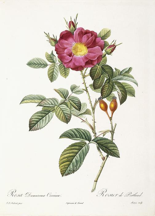 Rosa Damascena Coccina Print by Pierre Joseph Redoute
