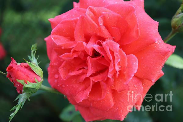 Rose And Rose Bud Print by Judy Palkimas