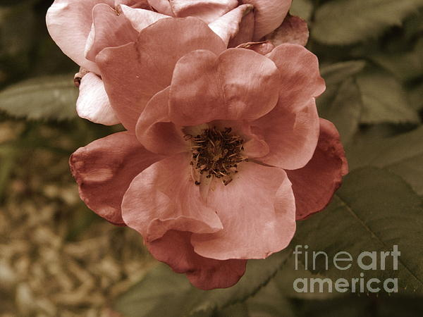 Rose Print by Andrea Anderegg