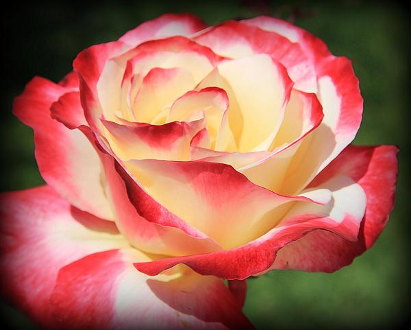 Athala Carole Bruckner - Rose