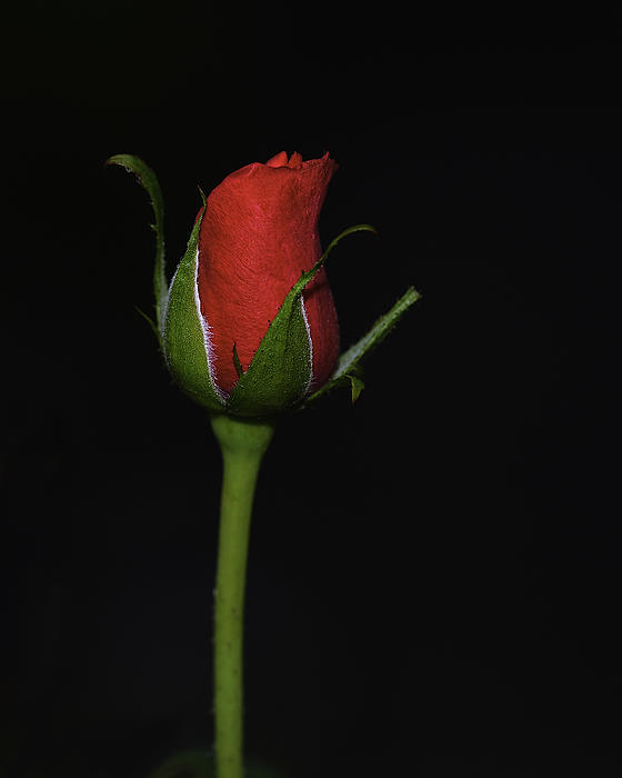 Rose Bud Print by William Jobes