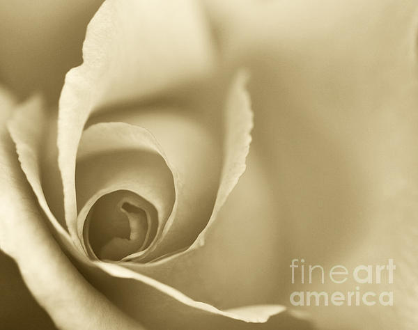 Rose Close Up - Gold Print by Natalie Kinnear