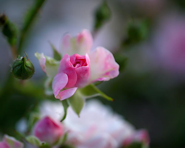 Rose Emergent Print by Rona Black