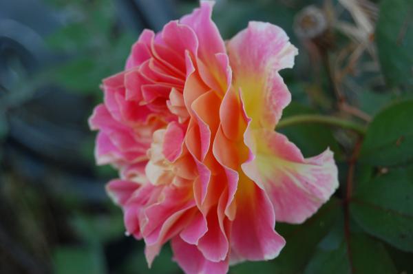 Garnett  Jaeger - Rose Garden