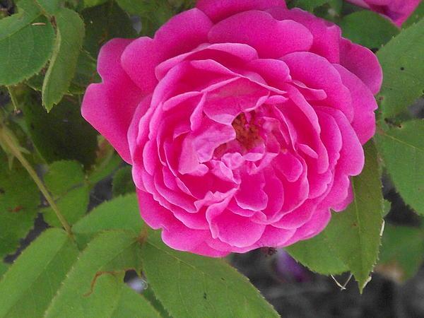Rose Gem Print by James Rishel