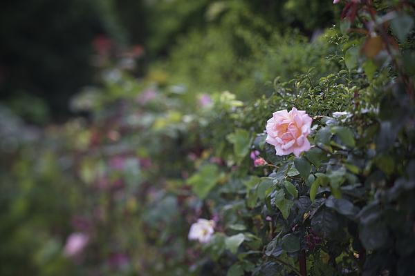 Colleen Williams - Rose on Hedge