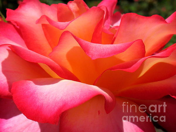 Rose Petals Print by Patti Whitten
