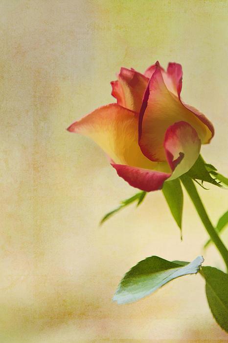 Rose Print by Veikko Suikkanen