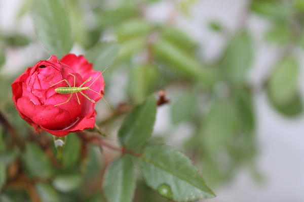 Holly OBriant - Rose With Bug