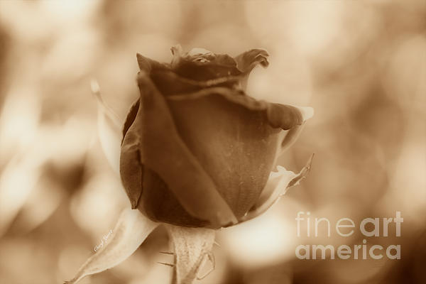 Rosebud Sepia Tone Print by Cheryl Young