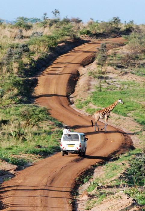 Rothschild Giraffe And Dirt Road Murchison Falls National Park Uganda Africa Print by Robert Ford