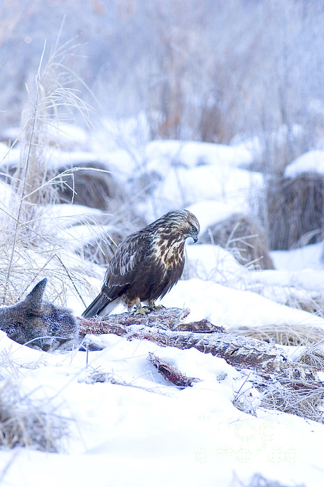 Rough Legged Hawk On Deer Carcass Print by Gregory K Scott