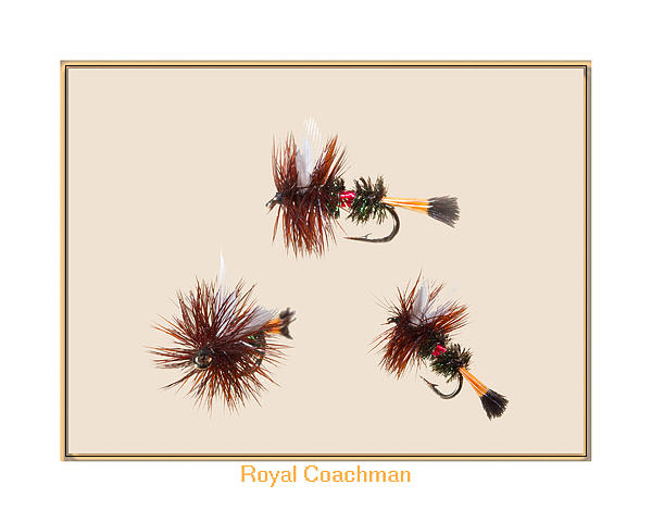 Royal Coachman II Print by Neal Blizzard