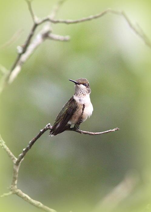 Ruby Throated Hummingbird 9332 1 By Travis Truelove