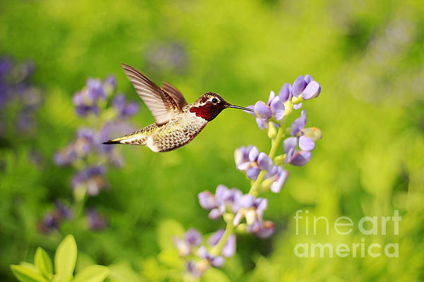 Ruby Throated Hummingbird Print by Darren Fisher