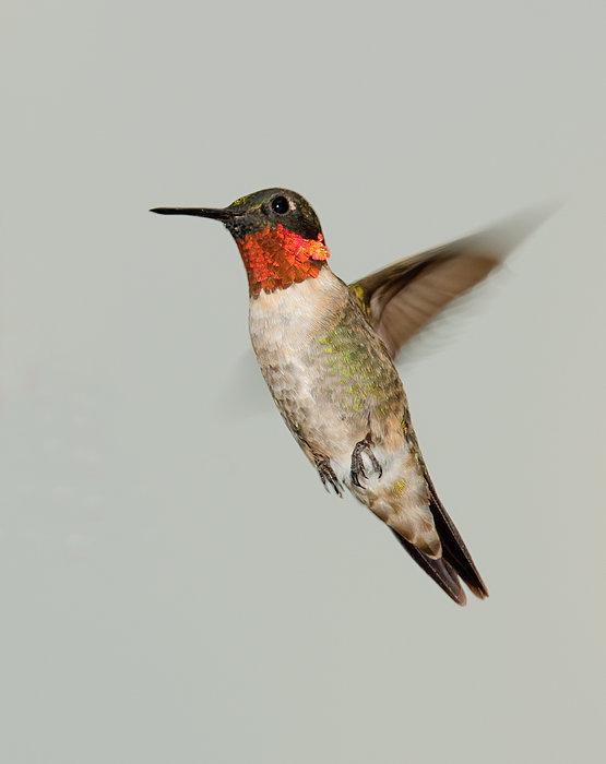 Ruby-throated Hummingbird In Flight Print by Lara Ellis
