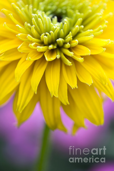 Rudbeckia Cherokee Sunset Flower Print by Tim Gainey