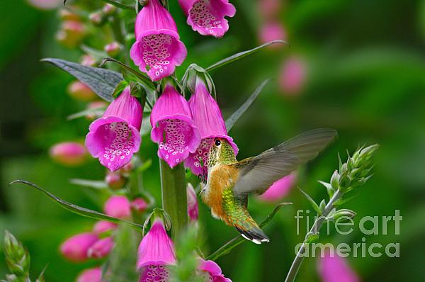 Rufous Hummingbird Print by Thomas and Pat Leeson
