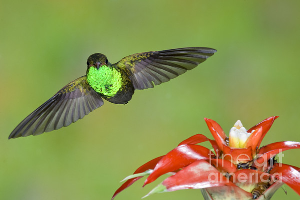 Rufous-tailed Hummer-ecuador Print by Anthony Mercieca