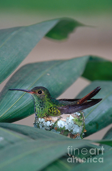 Rufous-tailed Hummingbird On Nest Print by Gregory G Dimijian MD