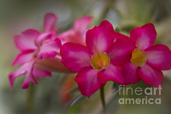 Sabi Star - Desert Rose Garden Of Dreams Hawaii Print by Sharon Mau