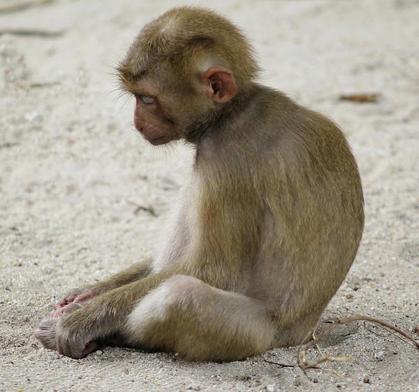 Sad Monkey By Lori Silcox