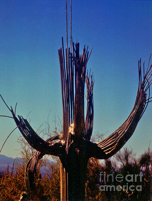 ImagesAsArt Photos And Graphics - Saguaro Cactus Skeleton