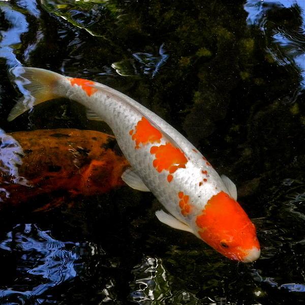 Salmon and white koi print by kirsten giving for All white koi