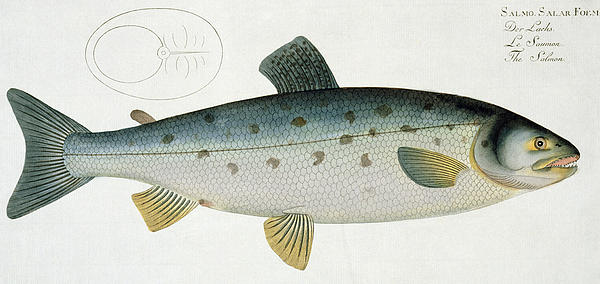 Salmon Print by Andreas Ludwig Kruger