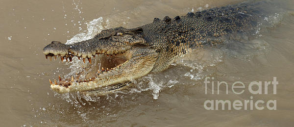 Saltwater Crocodile Print by Bob Christopher