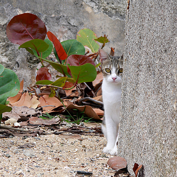 Richard Reeve - San Juan - Colonial Cat
