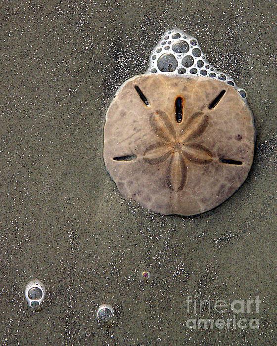 Sand Dollar Print by Tom Romeo