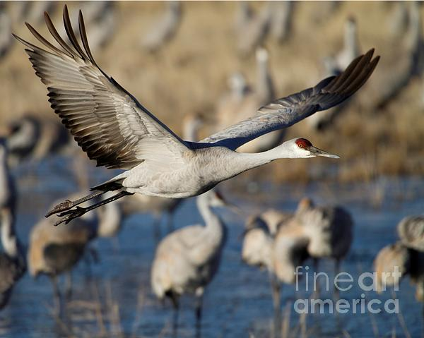 Sabrina L Ryan - Sandhill Crane Lift Off