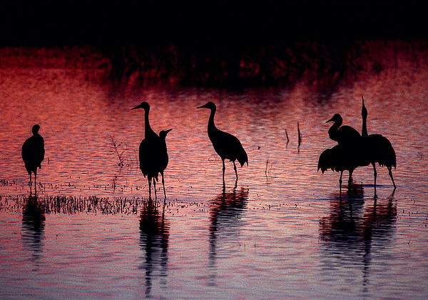 Sandhill Cranes Print by Steven Ralser