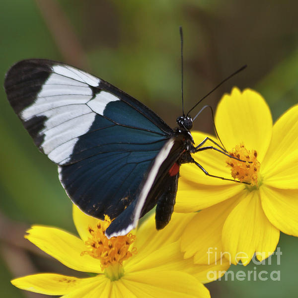 Sapho Longwing Yellow Oriented Print by Heiko Koehrer-Wagner