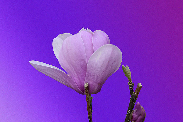 Saucer Magnolia Print by Larry Bishop