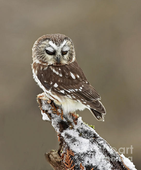 Saw Whet Owl Sleeping In A Winter Forest Print by Inspired Nature Photography By Shelley Myke