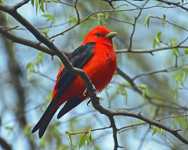 Rodney Campbell - Scarlet Tanager in the Forest