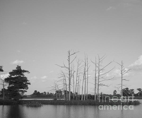 Joseph Baril - Scenic Swamp Cypress Trees Black and White