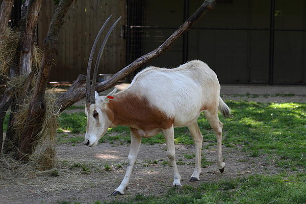 Scimitar Horned Oryz - National Zoo - 01132 Print by DC Photographer