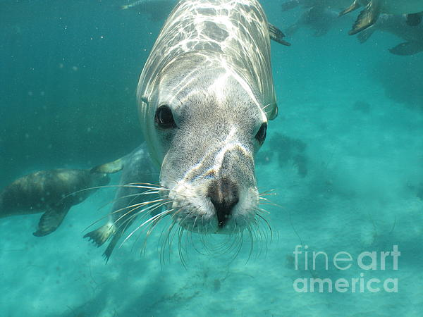 Sea Lion Print by Crystal Beckmann