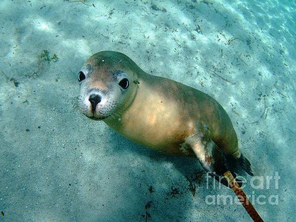 Sea Lion On The Seafloor Print by Crystal Beckmann