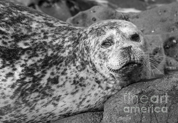 Sea Lion Stare In Monochrome Print by Darleen Stry