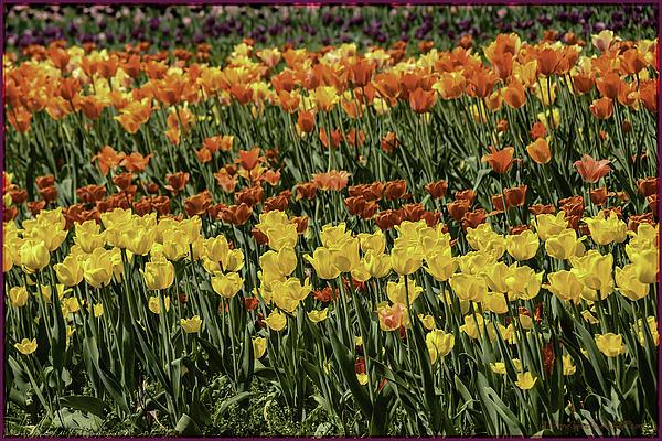 Sea Of Tulips Print by LeeAnn McLaneGoetz McLaneGoetzStudioLLCcom