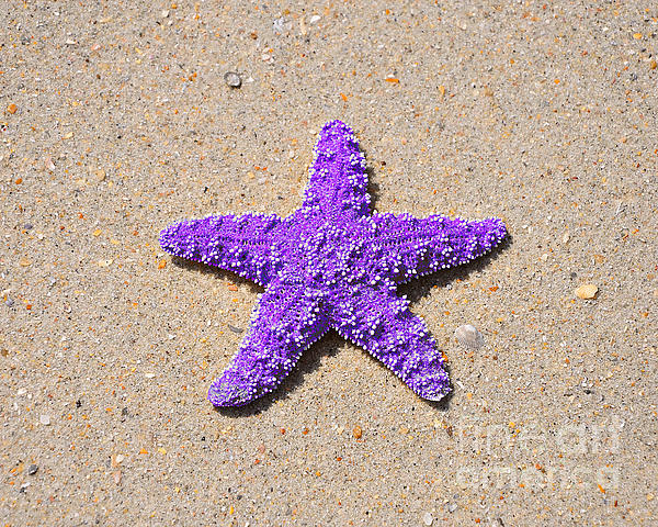 Sea Star - Purple Print by Al Powell Photography USA