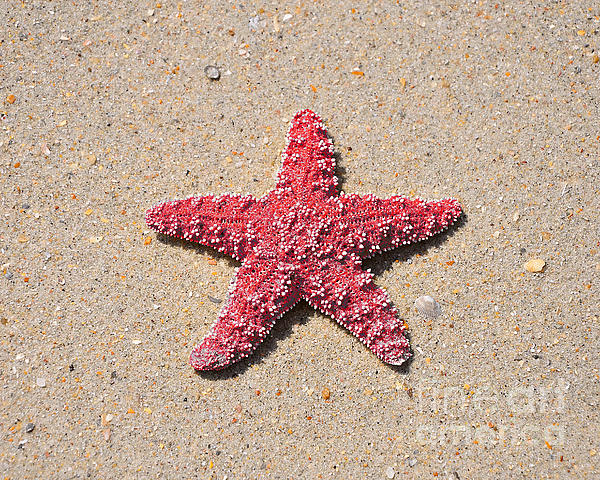Sea Star - Red Print by Al Powell Photography USA