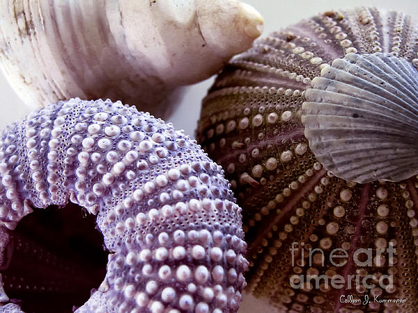 Sea Urchins  Print by Colleen Kammerer