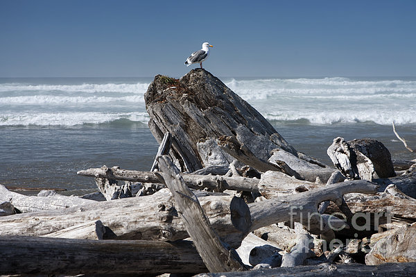 Seagull On Oregon Coast Print by Peter French