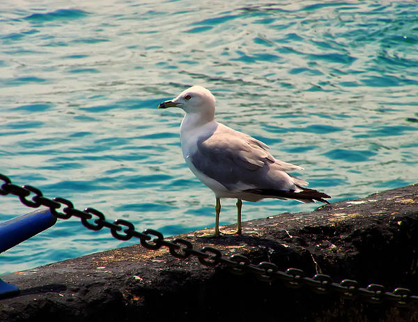 Chris Flees - Seagull On The Chicago Seawall