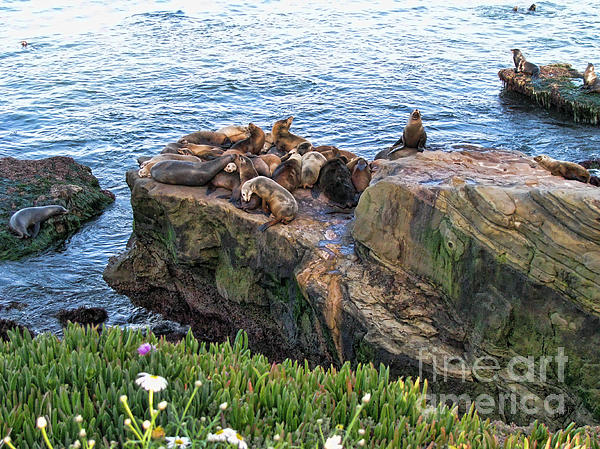 Seals And Pups Print by Bedros Awak